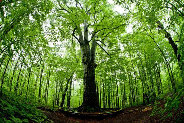 画像: 八甲田山山麓の巨木・森の神
