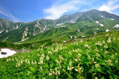 画像: 立山連峰とコバイケイソウ