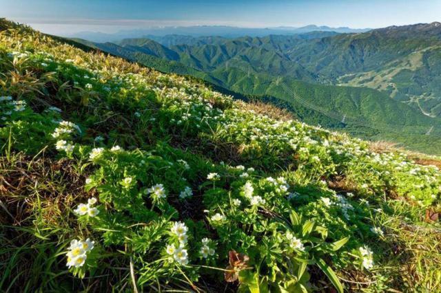 画像: ハクサンイチゲの群落