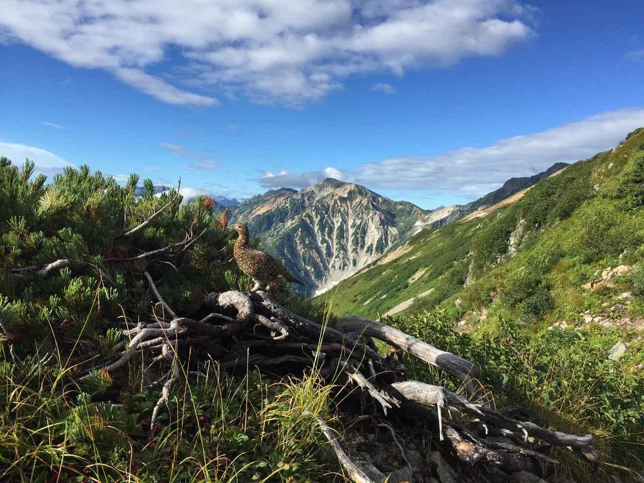 画像: 白馬岳と雷鳥