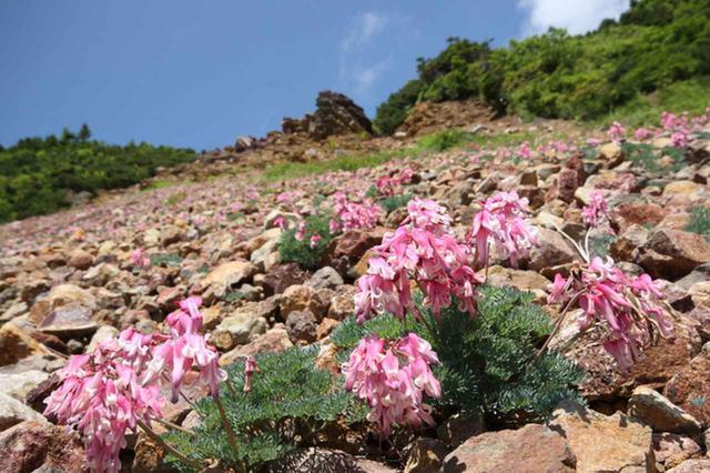 画像: 日光白根山に咲くコマクサ
