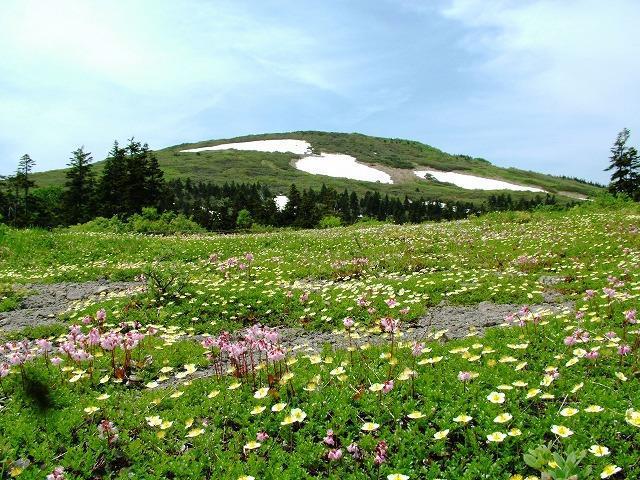 画像: 花咲く森吉山