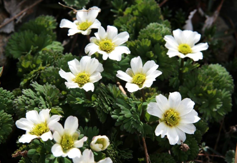 画像: 北岳に咲く高山植物
