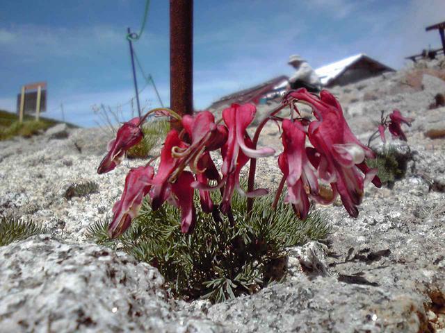 画像: 高山植物の女王・コマクサ