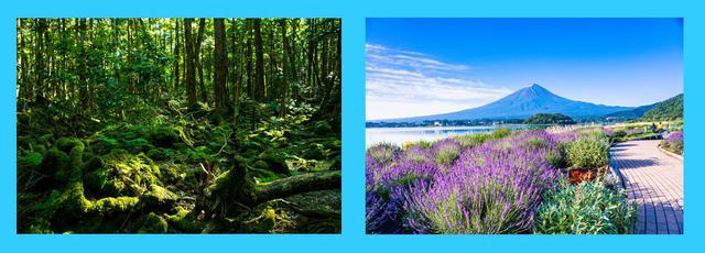 画像: 左:青木ヶ原樹海(イメージ) 右:富士山とラベンダーの絶景を眺めることができる河口湖畔(イメージ)