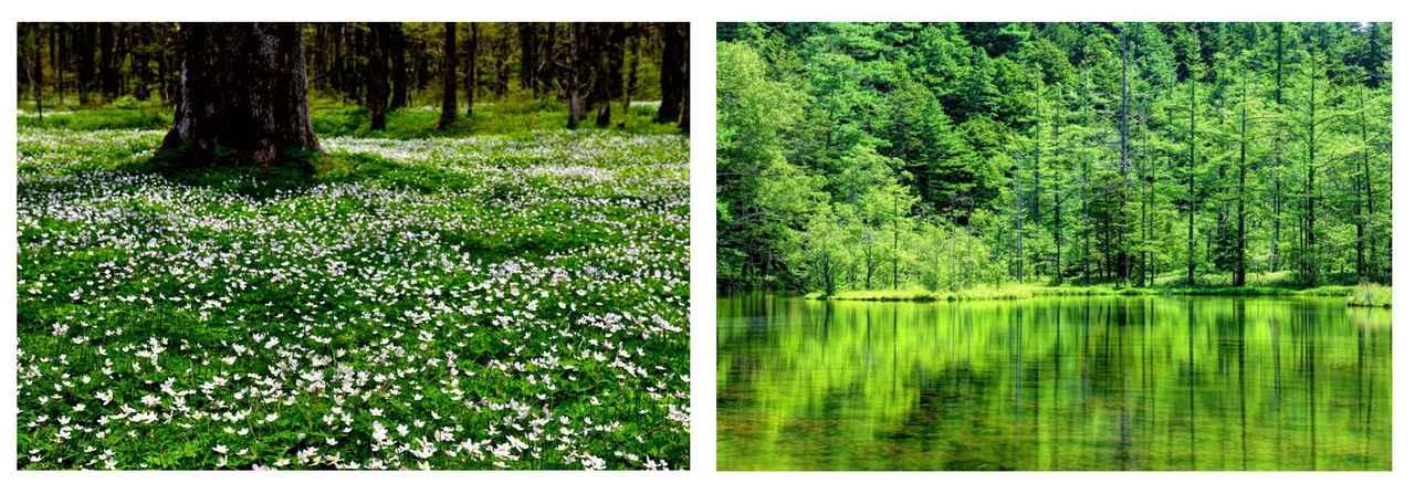 画像: 左:奥上高地に咲き誇るニリンソウ(イメージ) 右:明神池(イメージ)