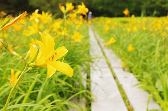 画像: ニッコウキスゲの群落(イメージ) ※花の見頃:7月中旬~8月上旬