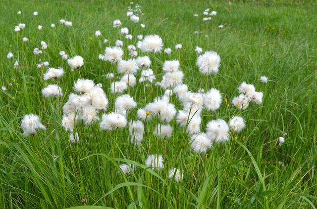 画像: ワタスゲ(イメージ) ※花の見頃:6月中旬~7月上旬