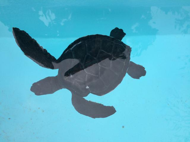 画像: 写真|小笠原観光では、亀の見学もしていただきます。