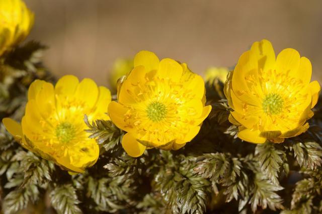 画像: フクジュソウの花