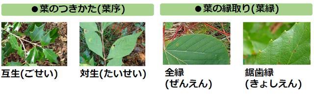 画像3: 葉っぱで樹木を見分けよう