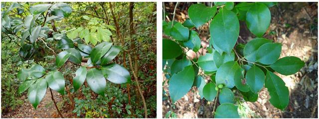 画像4: 葉っぱで樹木を見分けよう