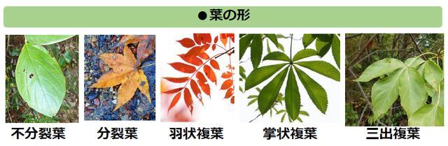 画像2: 葉っぱで樹木を見分けよう
