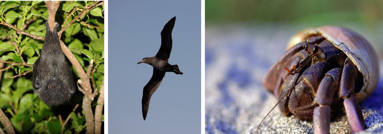 画像: 左:オガサワラオオコウモリ(固有種) 中:クロアシアホウドリ 右:ムラサキオカヤドカリ
