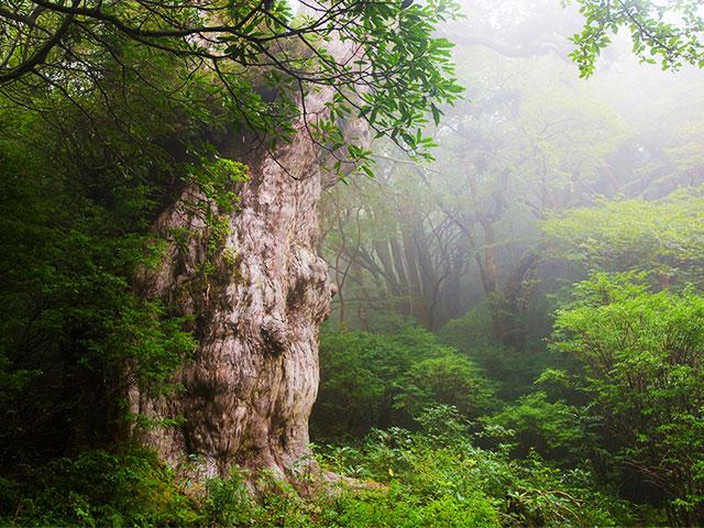画像: 縄文杉にであい隊ツアー・旅行【東海発】│クラブツーリズム
