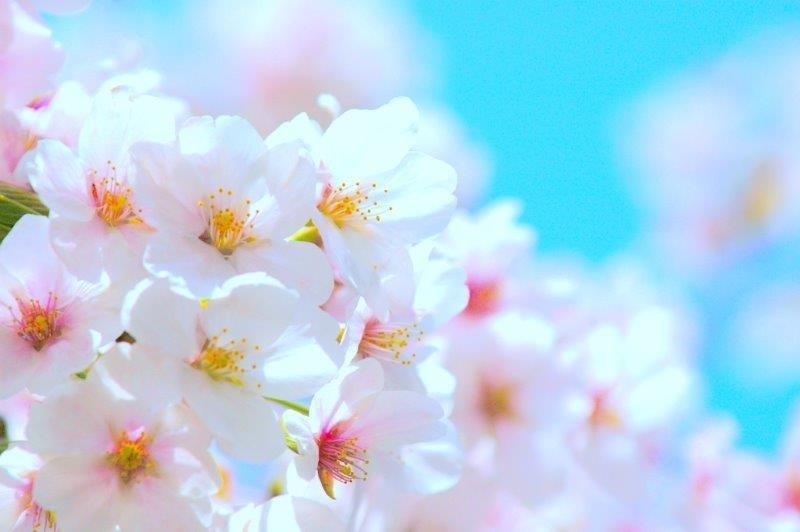 画像: 桜のイメージ(見頃は3月下旬から4月上旬)