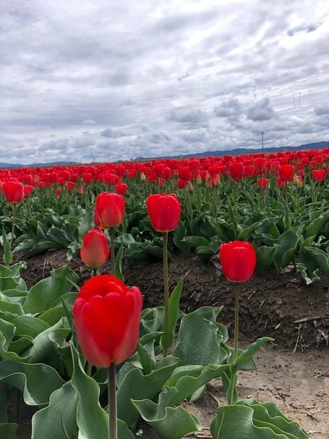 画像: 五泉のチューリップ畑。色鮮やかなチューリップ畑は素敵でした