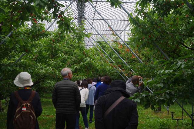 画像: さくらんぼ農園に到着しました。 大粒の赤い果実が実っていますね。