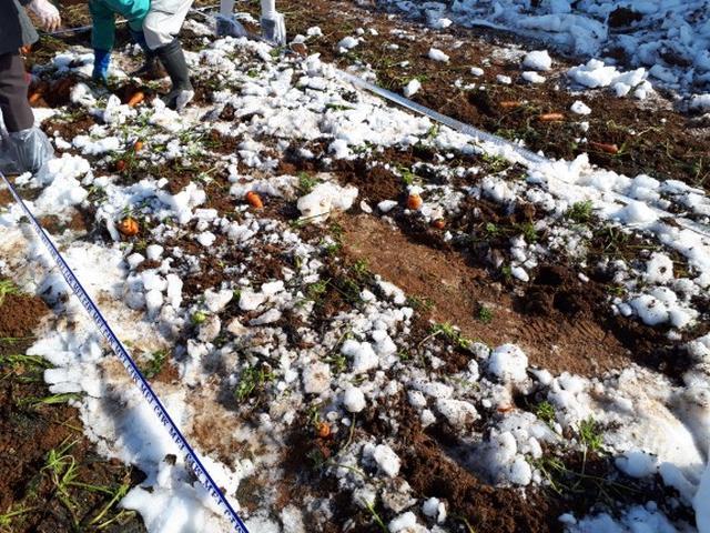 画像: 雪に埋まっていることで糖度の高いにんじんになるようです