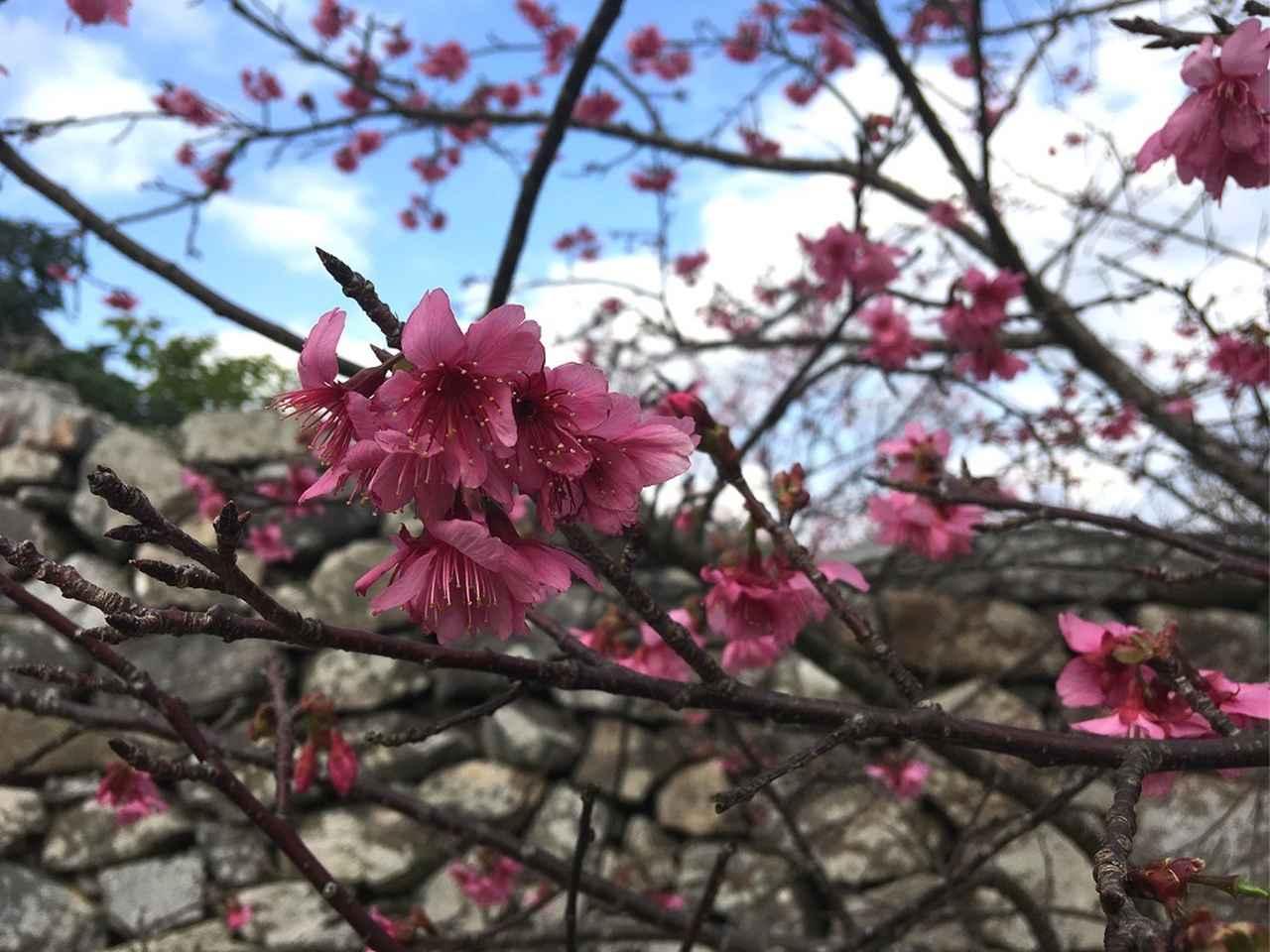 画像: 寒緋桜(カンヒサクラ)2月1日撮影