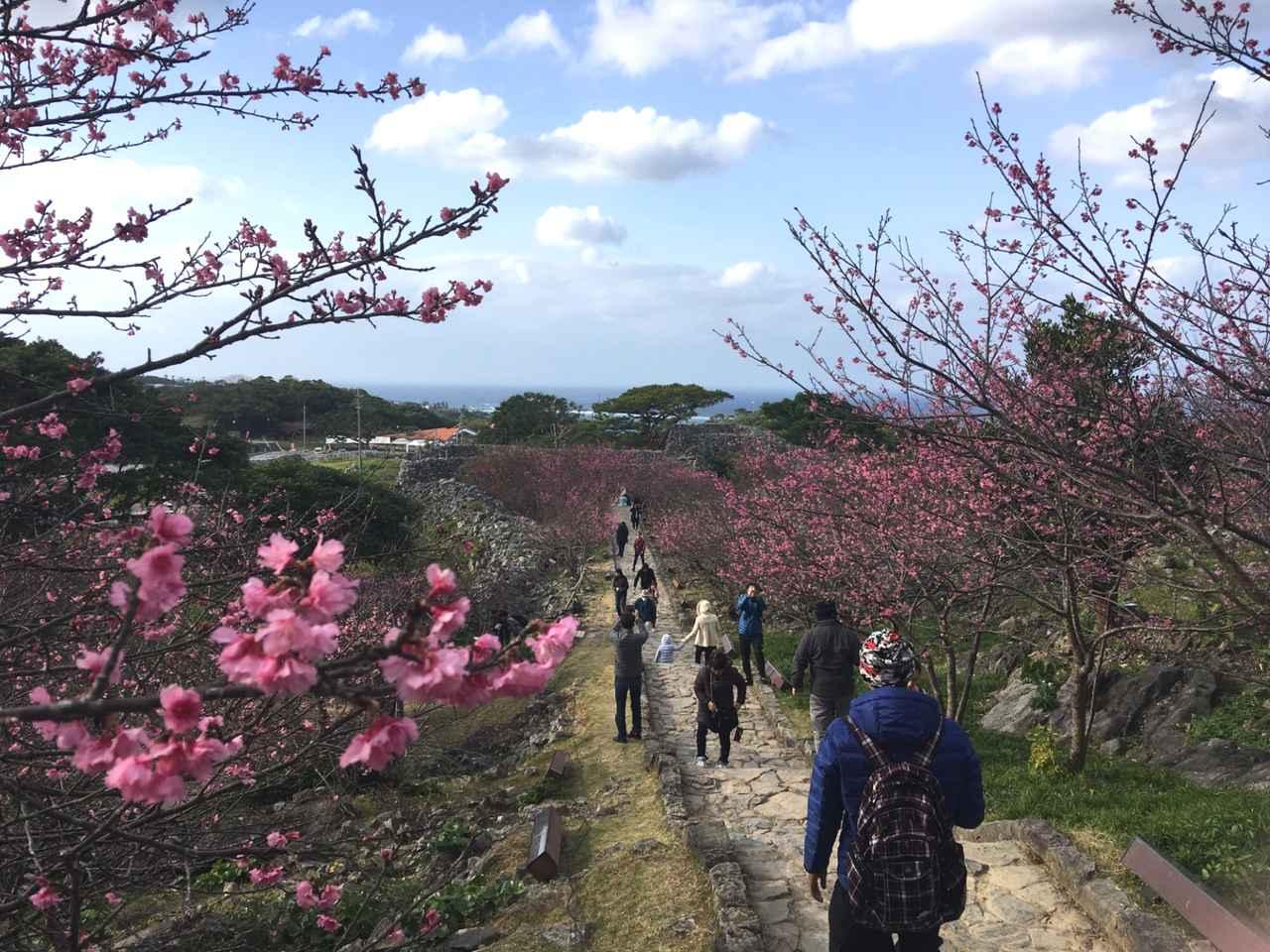 画像: 【国内旅行・地域47の旅】クラブツーリズムオリジナル企画 第12回 今帰仁グスク桜まつりが始まりました!
