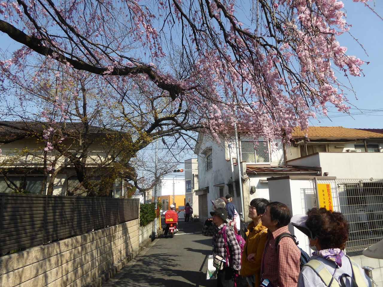 画像: 満開のしだれ桜を見上げるエコーさん