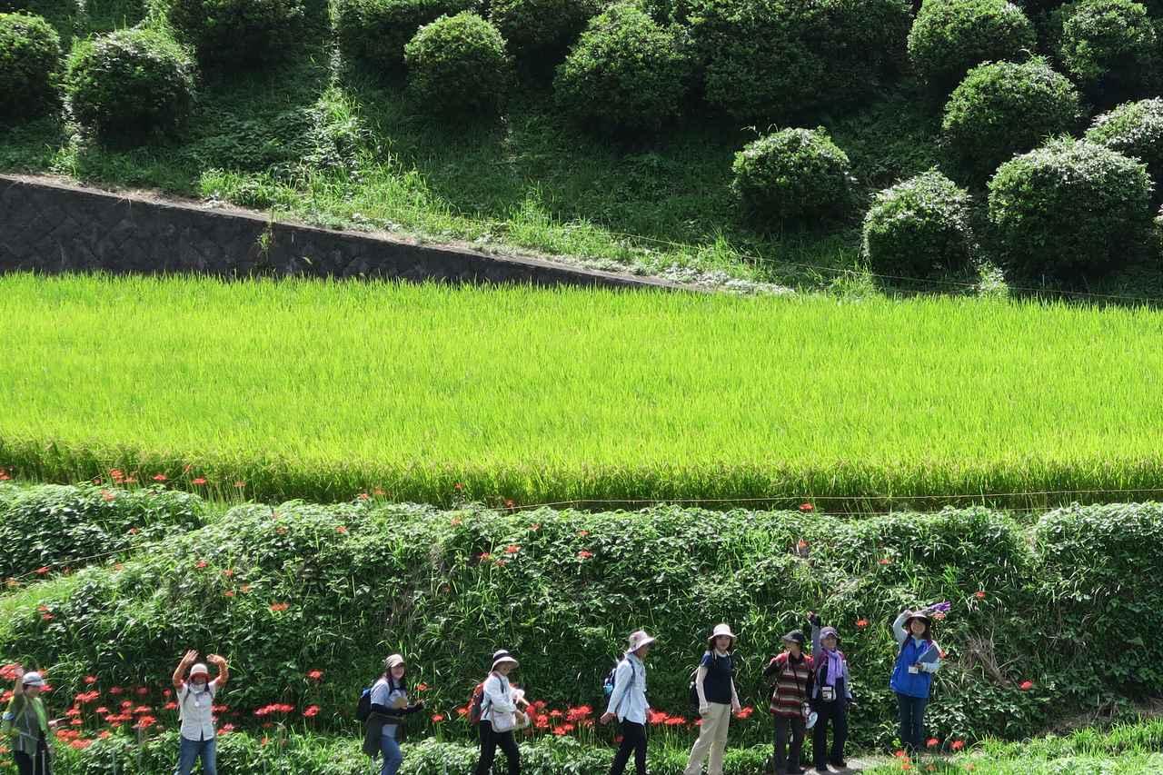 画像: 【関西エコースタッフブログ】 自然豊かな稲渕棚田と高松塚古墳を訪ねて ガイドの案内付きで 奥飛鳥ウォーク