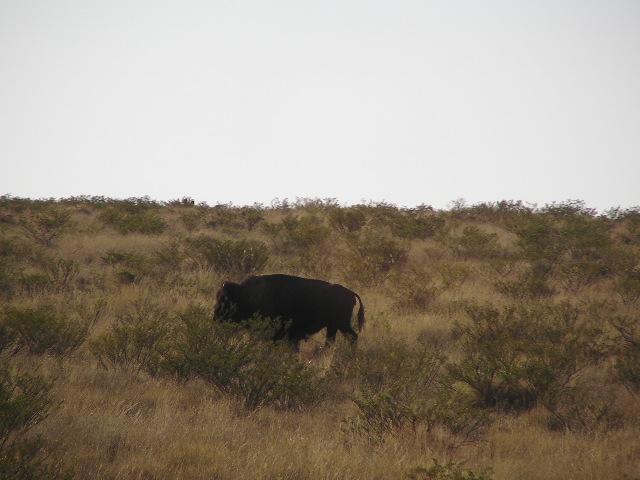 画像: 近くの草原には野生の牛も住んでいました。