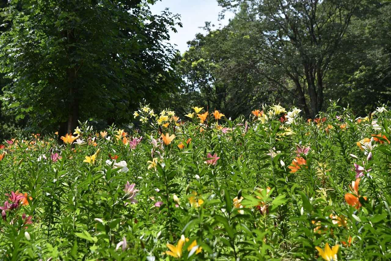 画像: 埼玉県所沢市にある「ところざわのゆり園」。色とりどりのユリの花を見ることができます