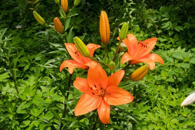 画像: 太陽の光を浴びて咲くオレンジ色のユリの花