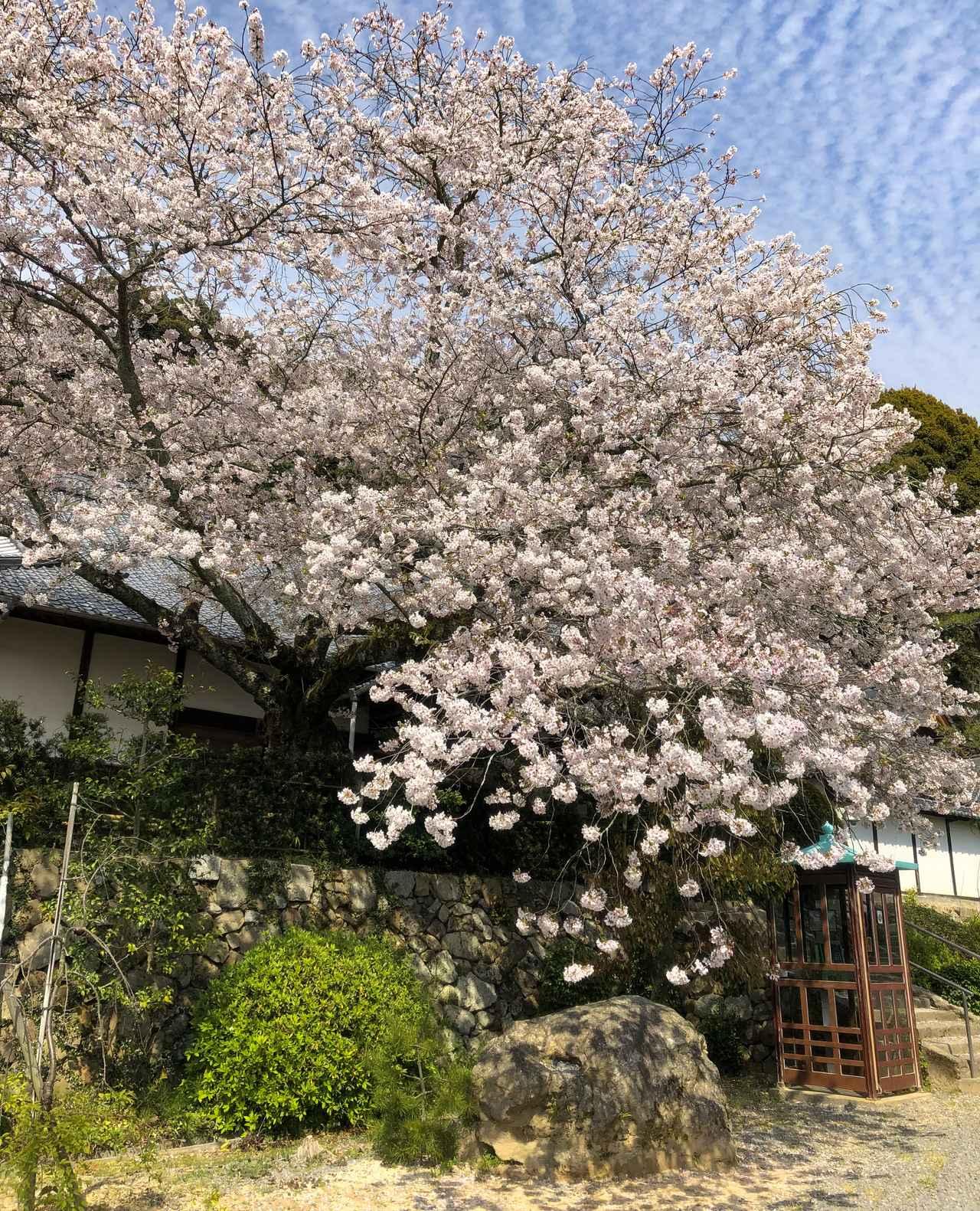 画像: 50番札所の繁多寺で満開の桜が出迎えてくれました