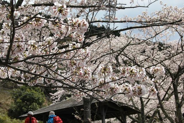 画像: 頭上を彩る満開の桜