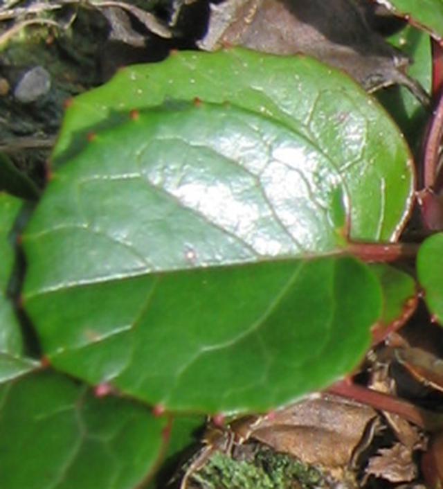 画像: イワカガミの葉っぱ (中西ガイド撮影)