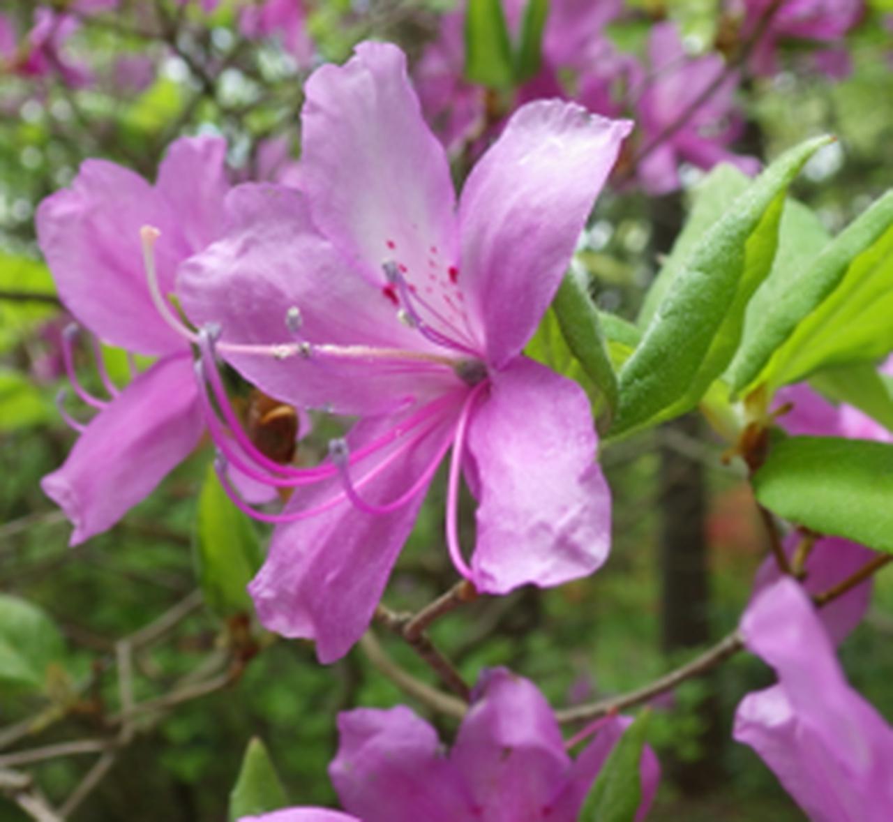 画像: トウゴクミツバツツジ (栃木県日光植物園:5月4日 中西ガイド撮影)