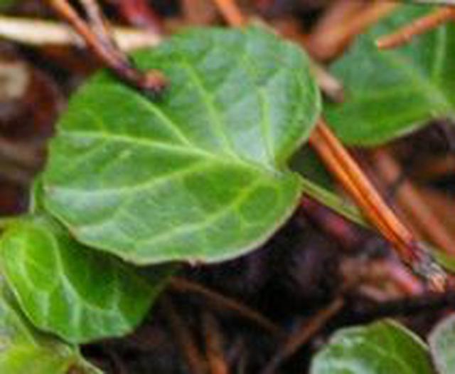 画像: イワウチワの葉っぱ (中西ガイド撮影)