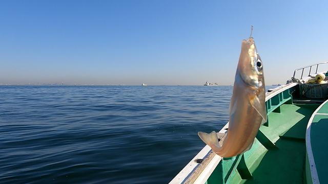 画像: 砂浜の女王とも呼ばれるシロギス。 釣ったばかりはパールピンクに輝いています。