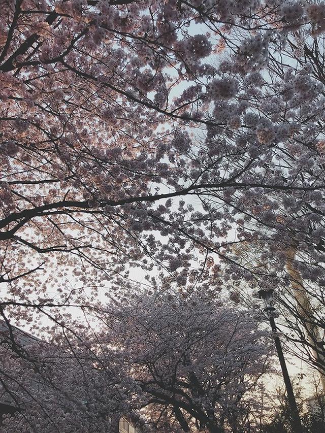画像1: 【まごころ三鷹】桜満開!♪花見ドライブ♪