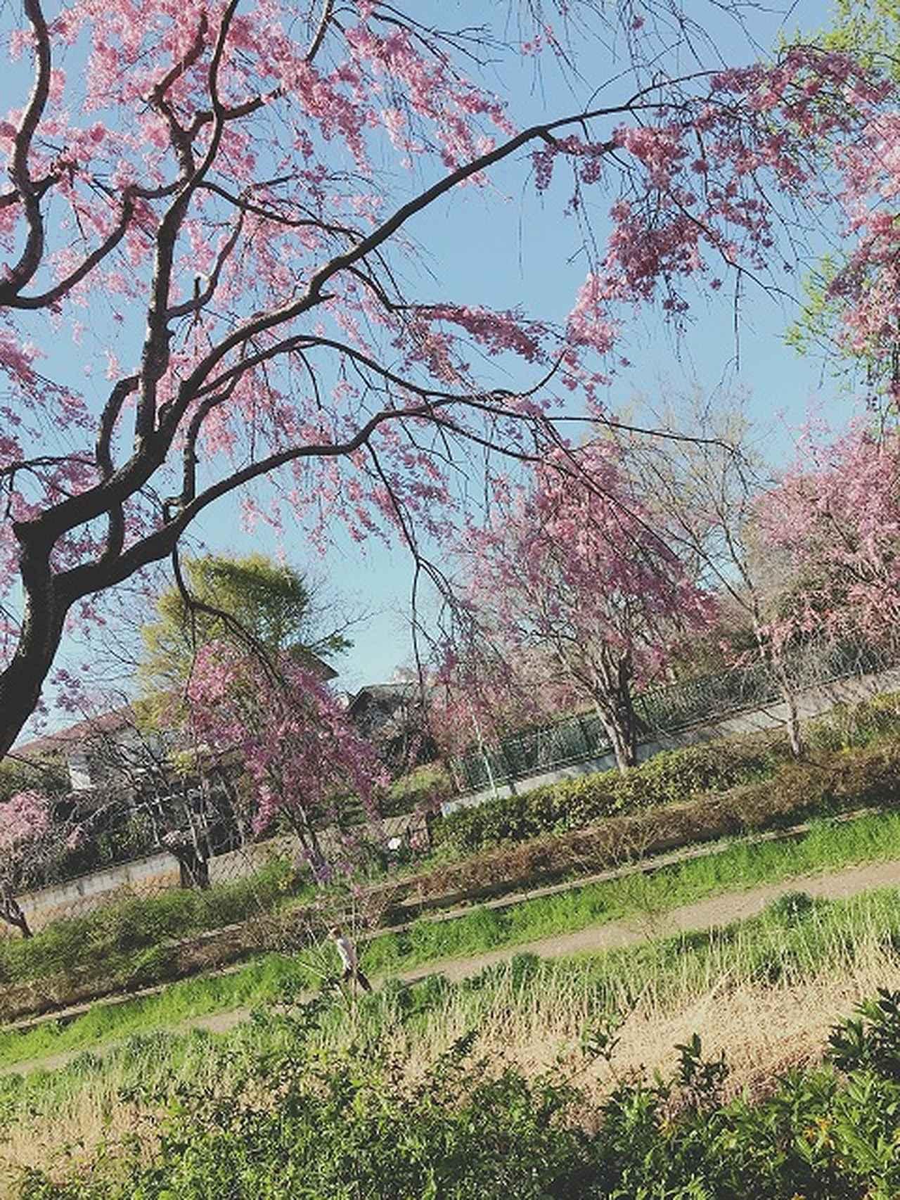 画像5: 【まごころ三鷹】桜満開!♪花見ドライブ♪