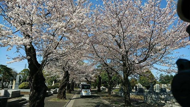 画像3: 【まごころ三鷹】桜満開!♪花見ドライブ♪