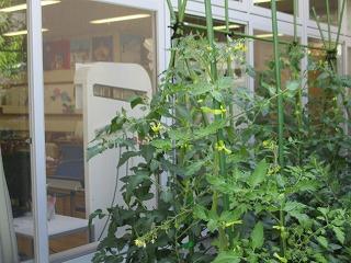 画像: 苗を植えて1ヶ月、背丈ほど大きくなりました。 花も咲き実もたくさん付きました。豊作の予感⁈