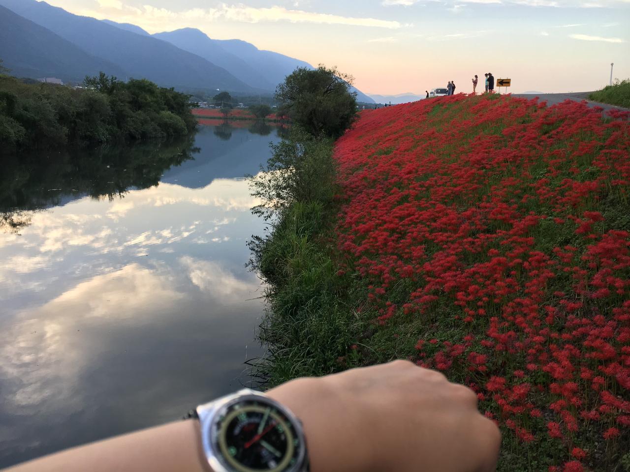 画像: 夕暮れ時の彼岸花。 先週のことですが海津市南濃町にある津屋川の堤防。赤い絨毯で敷き詰められた土手はとても美しかった。
