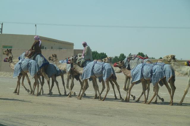 画像: テラル・リゾートのあるレマへ行く途中の幹線から少し外れたところにラクダ牧場があり、ラクダ市場へ向かっていた。
