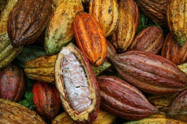 画像: 収穫後のカカオポッド。ひとつのポッドから、20~40個のカカオ豆がとれる COURTESY OF CACAO FOREST