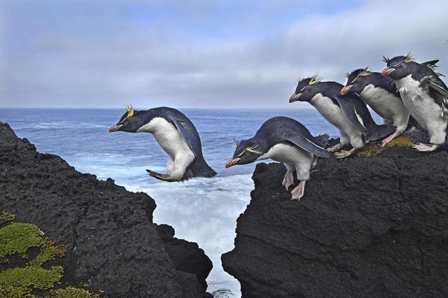 画像: 【自然の部 単写真】 トマス・P・ペシャク(ドイツ)2017年4月18日(南ア領南極地域マリオン島) インド洋に浮かぶ南ア領南極地域のマリオン島で、その名のとおり、岩に覆われた海岸線を飛び越えるイワトビペンギン PHOTOGRAPH BY THOMAS P. PESCHAK
