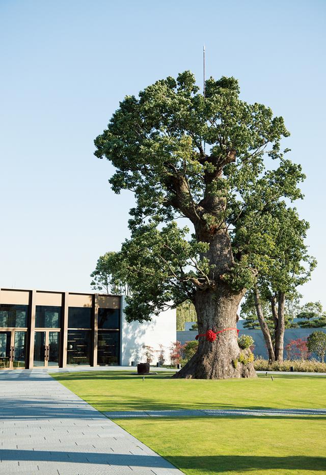 画像: 中央に立つのが巨樹「皇帝の樹」。奥の建物はリゾートのレクリエーション棟