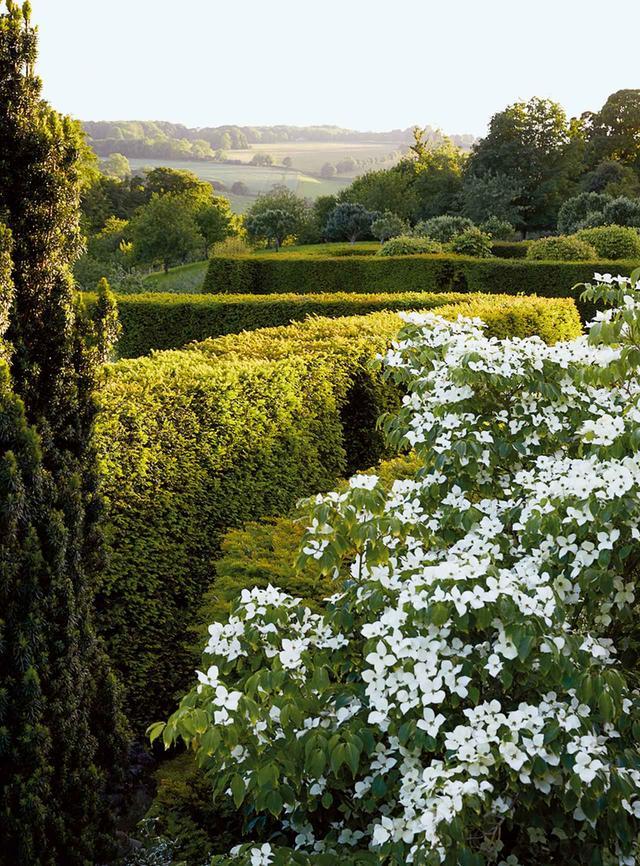 画像: 生け垣の間で咲く満開のハナミズキ