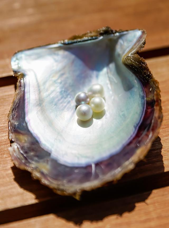 画像: あこや貝の中から出てきたばかりの真珠は、みずみずしい光を放っている