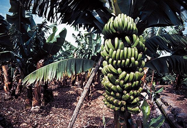 画像: 「生まれ故郷はカナリア諸島の、バナナ・プランテーション。この農園は僕が今もそのまま所有している」 DEAGOSTINI/GETTYIMAGES