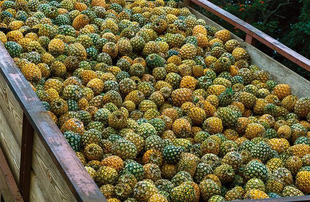 画像: 「ウルパラクア・ヴィニヤード」でワインの原料となるマウイゴールドパイナップル