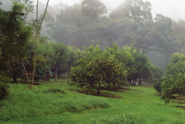 画像: 「オオ・ファーム」のレモン畑